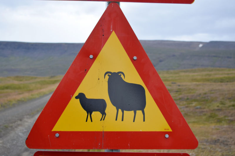 A sign in Icelandic warning of sheep.